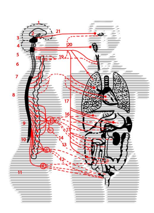 1 - головной мозг; 2 - промежуточный мозг; 3 - средний мозг; 4 - мозжечок; 5 - продолговатый мозг; 6...
